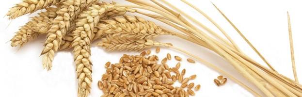 Bio tarwe om tarwegrassap te maken